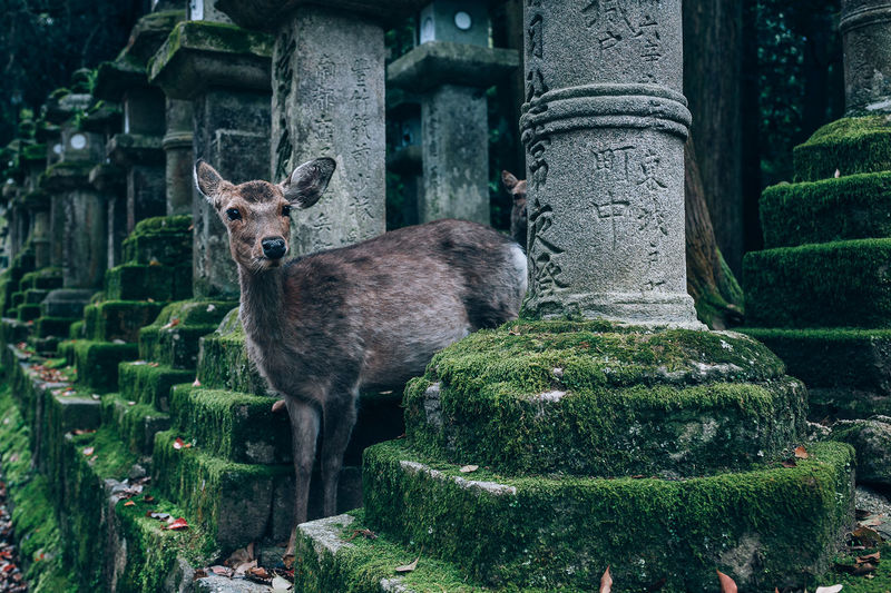 Japan Japan Photography Japanese Culture Japanese  Deer Sika Deer Nara Park Nara Architecture Animal