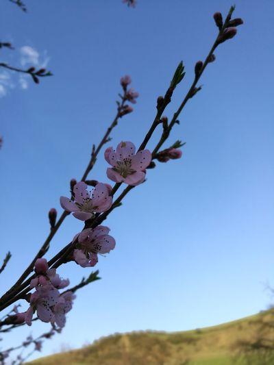 spring Peach Tree Peach Flowers Tree Flower Branch Flower Head Clear Sky Springtime Blue Blossom Sky Close-up