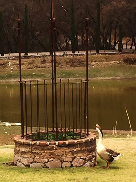 Ganso goose Animal Themes Bird Animals In The Wild Day One Animal Outdoors Nature Animal Wildlife No People Goose Water Tree Beauty In Nature