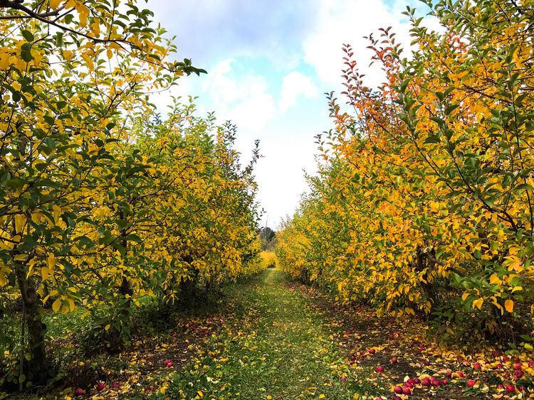 Apple picking in the Catskills, New York, USA. Photo by Tom Bland. Agriculture Apple Picking Apple Trees  Autumn Autumnal Fall Growth IPhone IPhoneography Nature New York Orchard Orchards Outdoors Perspective Rows Rural Seasonal Seasonal Fruit Tree Trees