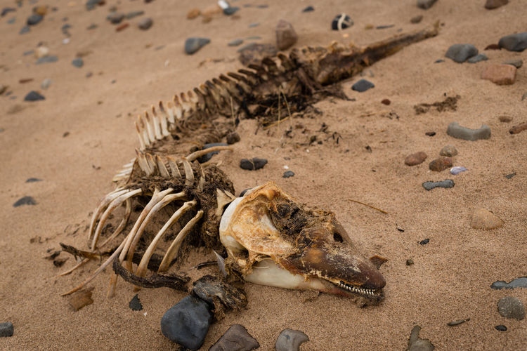 High angle view of dead dolphin skeleton on sand at beach
