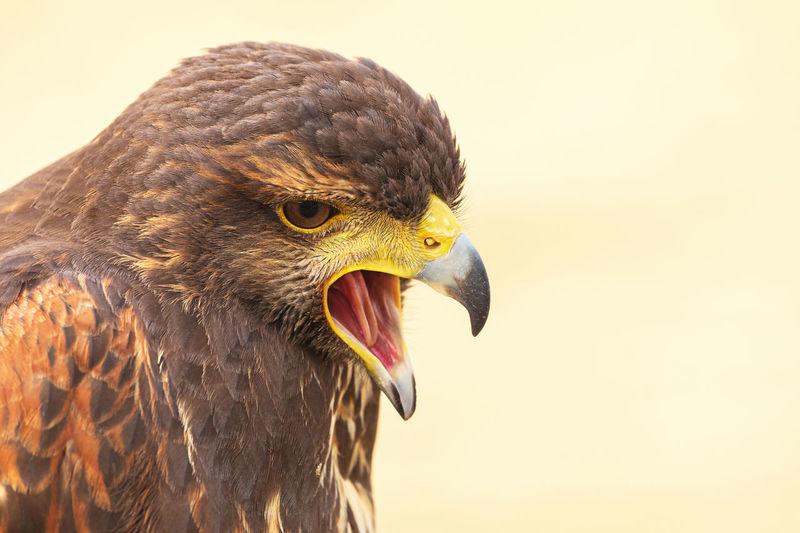 Close-up of a harris hawk