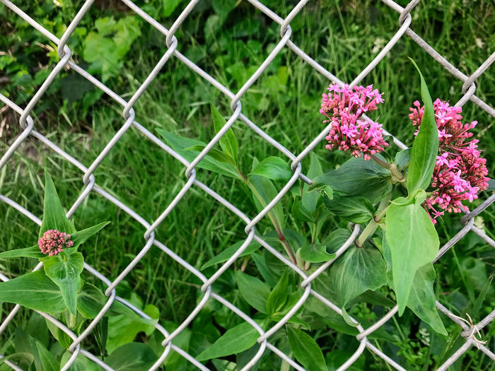 Close-up of pink flowering plants against fence
