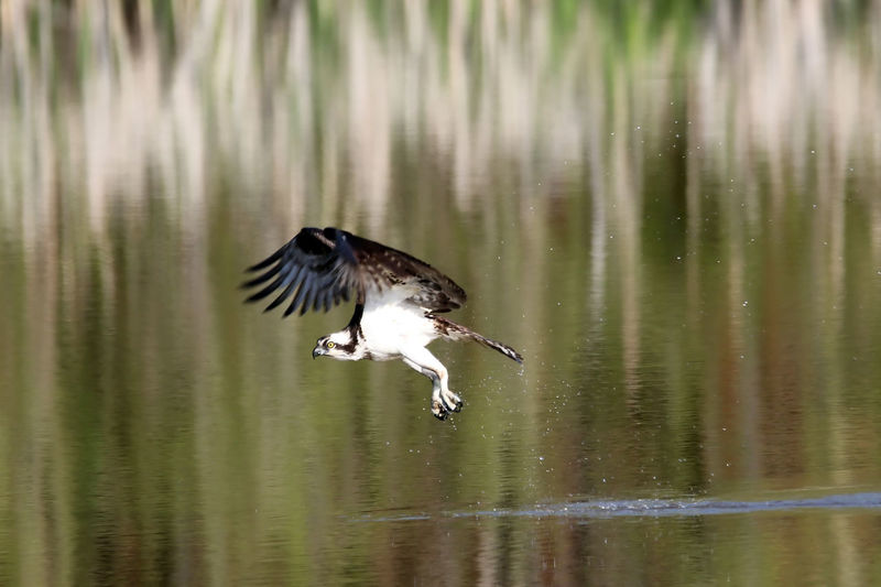 Osprey landing over lake