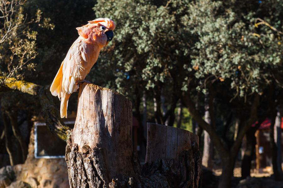 The Salmon-crested cockatoo perching on a tree stump Aitana Beauty In Nature Bird Birds Wildlife Branch Cockatoo Day Europe Feather  Nature No People One Bird Outdoors Parrot Safari Salmon-crested Cockatoo South SPAIN Specie Tree Stump Tree Trunk Wild Wildlife Zoo