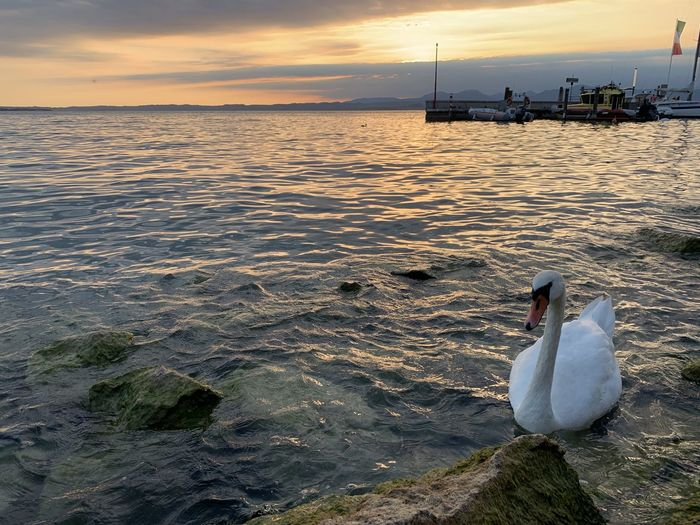 View of swan swimming in sea