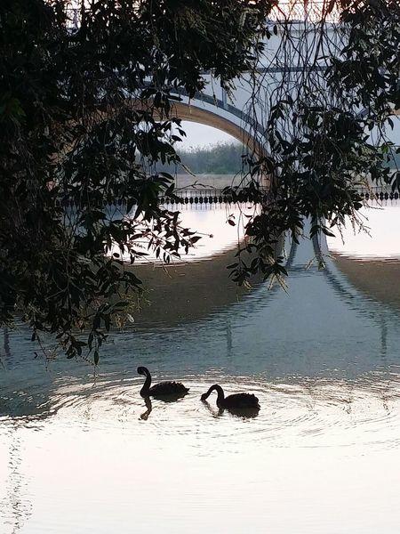 Swans Black Swans