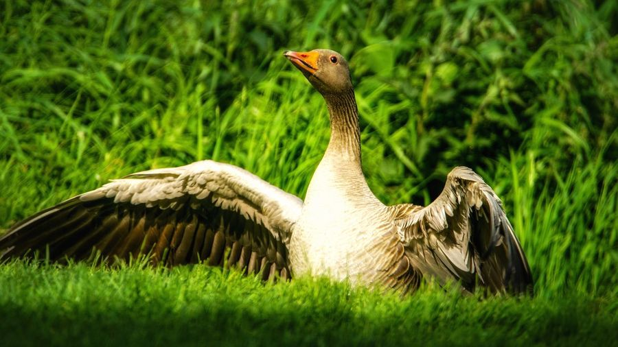 Grass Bird Animals In The Wild Green Color Animal Themes Nature Animal Wildlife Field Day No People Outdoors Beak Close-up Ireland Goose