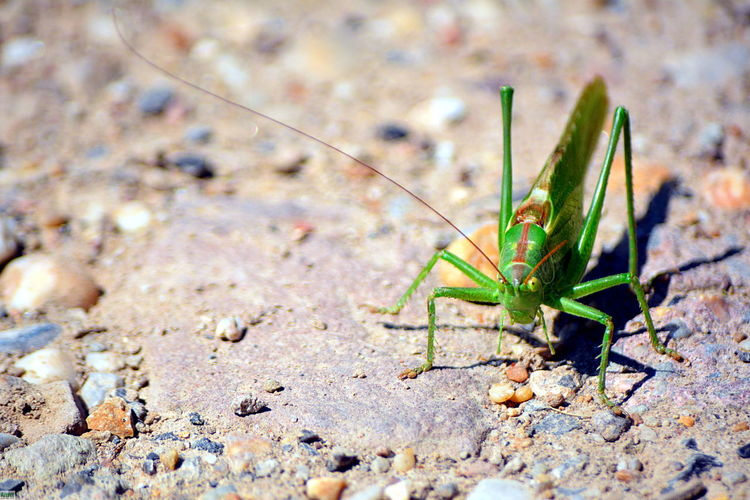 Invertebrate Insect Animal Wildlife Animal Themes Animal Nature One Animal Animals In The Wild Close-up Day No People Selective Focus Green Color Outdoors Land Grasshopper Animal Body Part Focus On Foreground Animal Antenna Solid Surface Level Locust