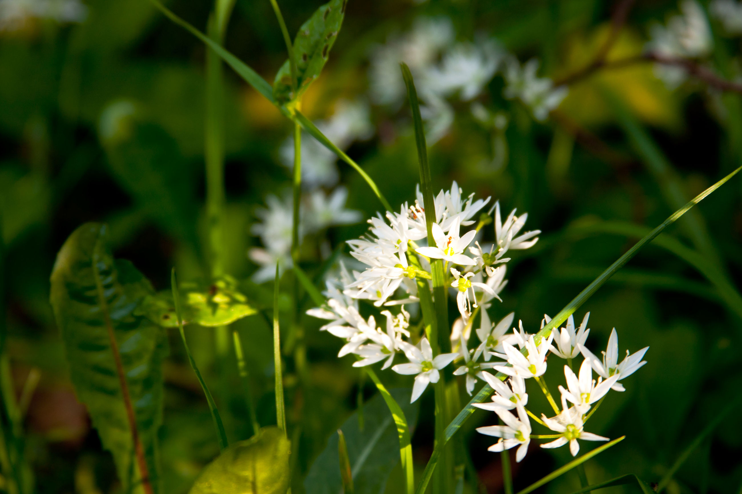flower, flowering plant, plant, growth, fragility, beauty in nature, vulnerability, freshness, white color, flower head, petal, nature, close-up, focus on foreground, inflorescence, green color, day, no people, plant part, leaf, outdoors