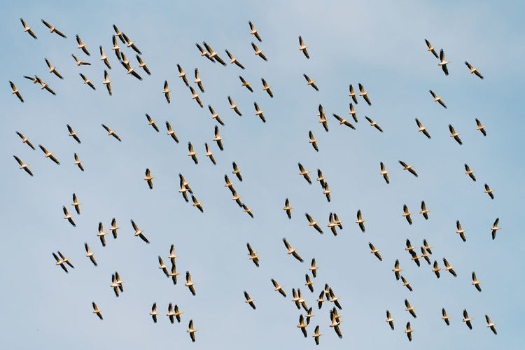 Low angle view of pelican birds flying in the sky