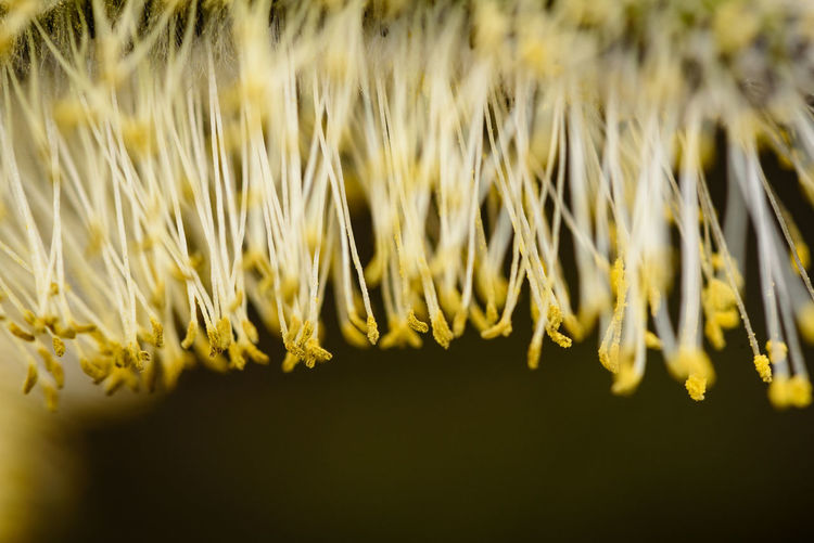 Macro shot of willow catkin in bloom Nature Agriculture Beauty In Nature Close Up Close-up Crop  Day Fine Art First Eyeem Photo Freshness Growth Macro Nature Plant Selective Focus Sunlight Vulnerability  Willow Catkins Yellow