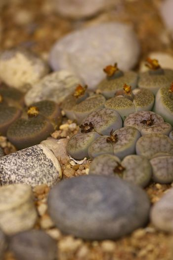 Lithops sp. Living stones. Close-up Day Food Food And Drink Full Frame Healthy Eating Large Group Of Objects Nature No People Outdoors Pebble Pebble Beach Selective Focus