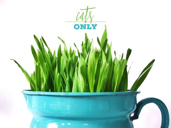 No Cows! P219 Onephotoaday IPhoneography 365project2016 Typography Green Green Grass Grass Fresh Nature Standing Tall Cat Catgrass White Background Getting Creative Bestofover Colorful