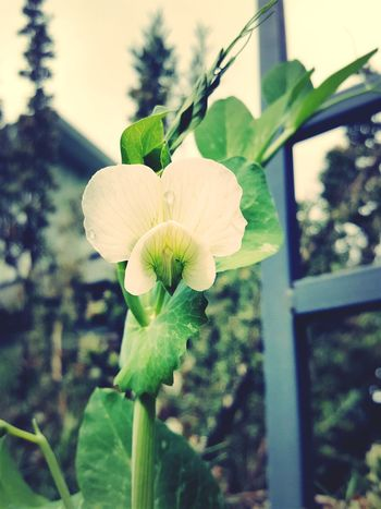 Snowpeas White Flower Freshness Plant Nature Close-up Beauty In Nature No People Springtime Green Color Outdoors EyeEm Vision Foodpornphotography