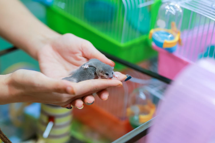 A cute little mouse in the hand of a girl at the pet shop tame the newborn biceps