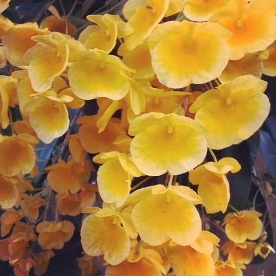 Queen of the flower in chiangmai. Orchidaceae Orchid Ozzo Beautiful Life Love Life Natural Chiangmai Thailand Fruitful Brooming Yellow