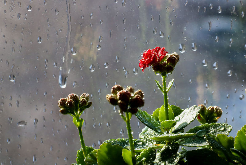 Beauty In Nature Close-up Day Flower Fragility Freshness Glass Growth Kalanchoe Nature No People Outdoors Plant Raindrops Transparent Weather