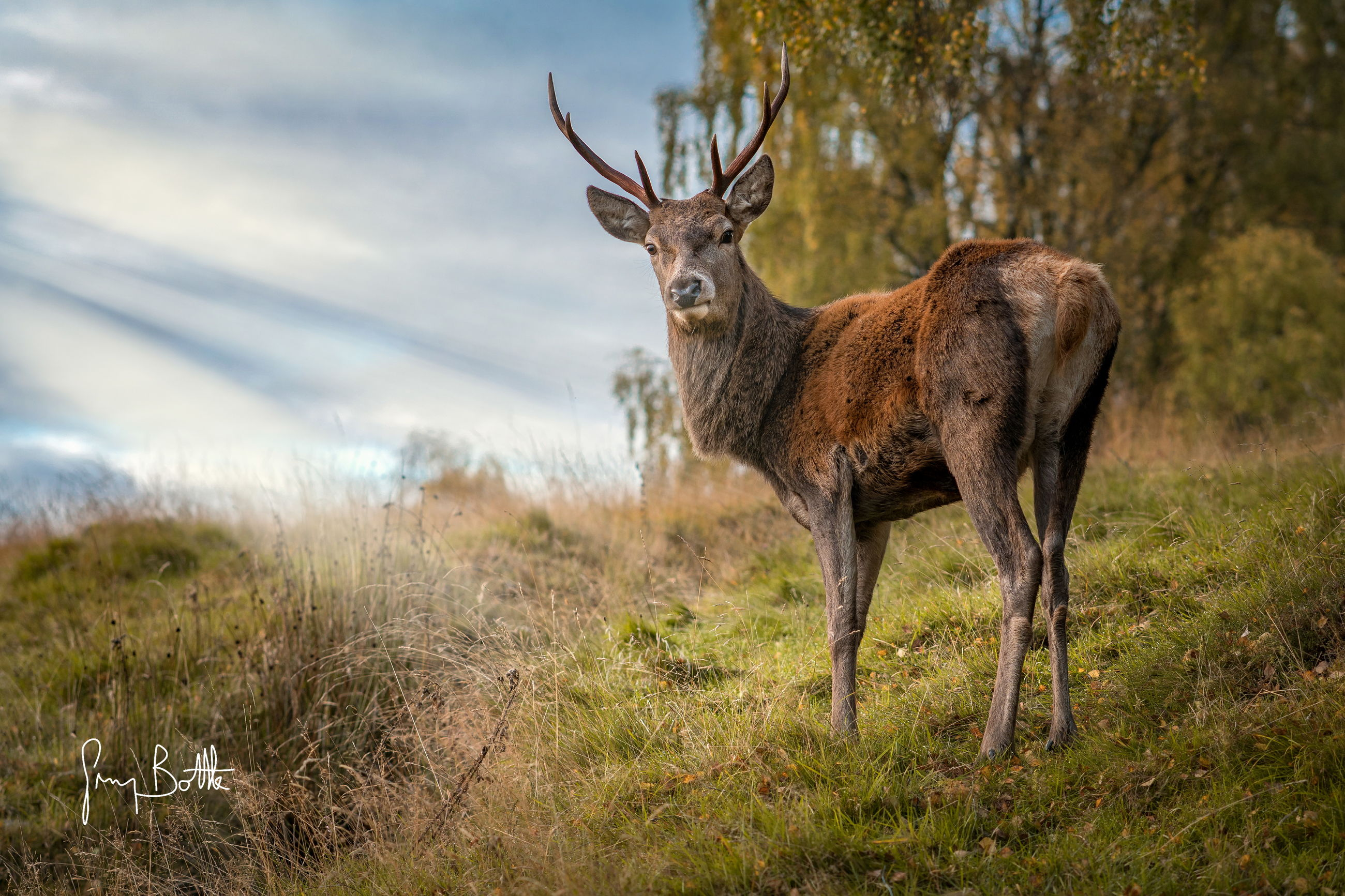 grass, animals in the wild, animal wildlife, deer, nature, one animal, field, animal themes, mammal, no people, outdoors, day, looking at camera, antler, portrait, standing, stag, beauty in nature, sky