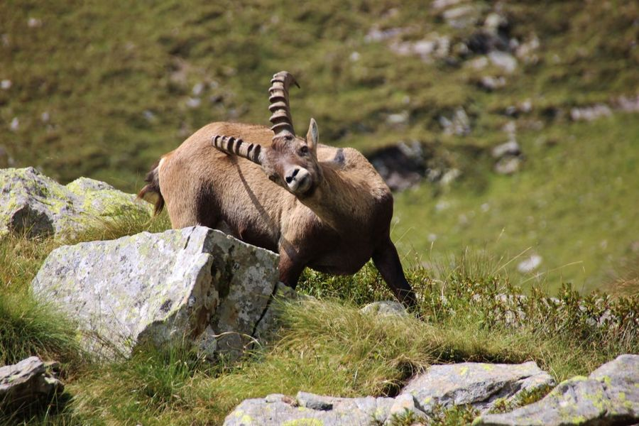 Alpine Ibex Horns Orobie Parco Rock Alpi Orobie Alps Animal Themes Animal Wildlife Animals In The Wild Eye Grass Horn Hunt Mammal Mountain Nature No People One Animal Outdoors Rifugio Coca Rock - Object Steimbock