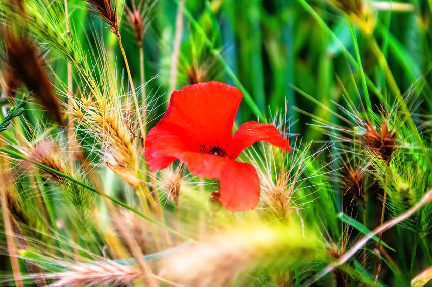 Klatschmohn Marcin Adrian Nature Photography Beauty In Nature Close-up Day Field Flower Flower Head Flowering Plant Fragility Freshness Grass Green Color Growth Inflorescence Land Nature Outdoors Papaver Rhoeas Plant Red Selective Focus Vulnerability  Wesseling