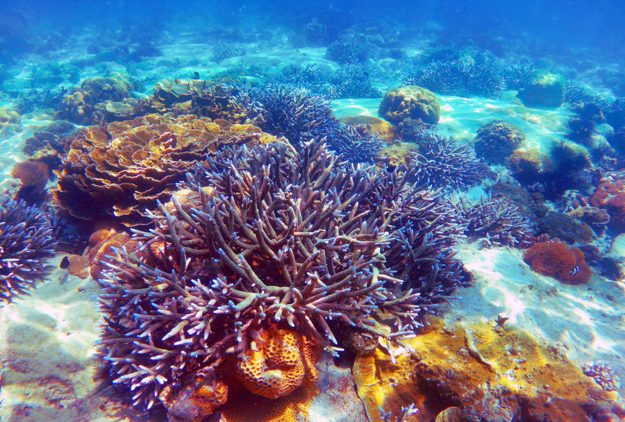 Beautiful Coral reef in Andaman sea ,Nyaung Oo Phee island , Myanmar SCUBA Andaman Sea Animal Themes Animals In The Wild Beauty In Nature Close-up Coral Coral Reef Day Leisure Activity Nature No People Nyaung Oo Phee Island Sea Sea Life Under The Sea UnderSea Underwater underwater photography Water