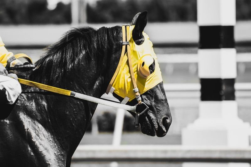 race horse edit Jockey Thoroughbred Horse Photography  Horse Horse Racing EyeEm Selects Mammal Animal Domestic Animals Animal Themes Domestic One Animal Pets Horse Animal Wildlife Black Color Day