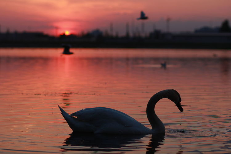 Animal Themes Animal Wildlife Animals In The Wild Bird Lake Lake View Lakeview Nature No People Outdoors Reflection Sillouette Sunset Sunset Silhouettes Sunset_collection Swan Swans Swans Of Eyeem Swans On The Lake Swans Sillouette Swans Swimming Swimming Water Market Bestsellers