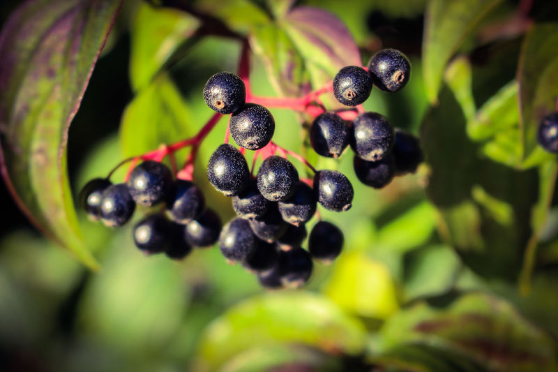 Berries Elderflower Syrup Beauty In Nature Black Color Close-up Day Food Food And Drink Freshness Fruit Green Color Growth Healthy Eating Leaf Nature No People Outdoors Plant Tree