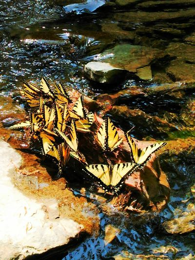 Most interesting capture of the day... Check This Out Cool_capture_ Onlygodcouldcreatethis Show Me Your Glory Beauty In Nature Our World Thru My Eyes Inspiring_photography_admired Nature_collection Naturelovers Very Inspired By My Muse Our World Is Beautiful Sawonmyadventure Chautauqua Gorge Skinnydip Falls Monarch Butterflies On A Rock