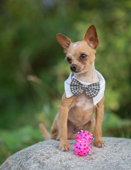 Adorable Animal Themes Bow Tie Breed Chihuahua Chihuahua Love ♥ Chihuahualovers Cute Dog Dog Clothes Dog Clothing Dog Fashion Dog Love Doggy Dogs Dogslife Domestic Animals Enjoying Life EyeEm Best Shots EyeEm Dogs EyeEmNewHere Fashion Lifestyles Style Stylish