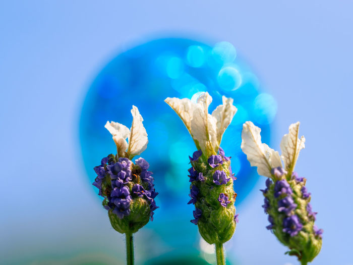 lavender Beauty In Nature Blue Blue Background Bud Close-up Day Flower Flower Head Flowering Plant Focus On Foreground Fragility Freshness Growth Inflorescence Nature No People Outdoors Petal Plant Purple Selective Focus Vulnerability