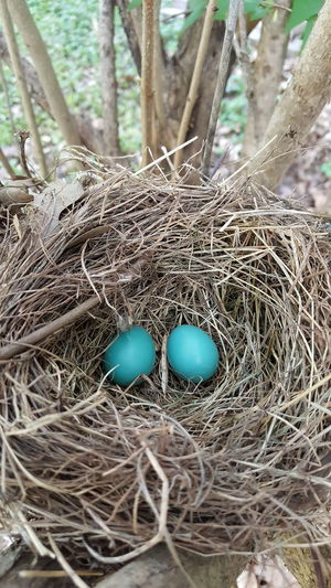 Robin Eggs In A Nest Blue Eggs Robinseggblue