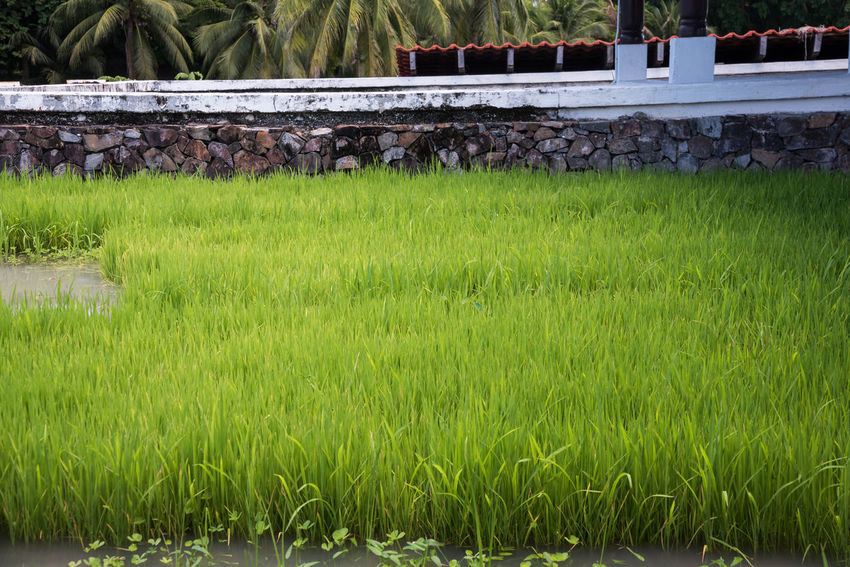 Mini paddy field. Agriculture Architecture Beauty In Nature Close-up Day Field Food Grass Growth Miniature Nature No People Outdoors Paddy Paddy Field Rice Rural Scene Scenics Young Plants
