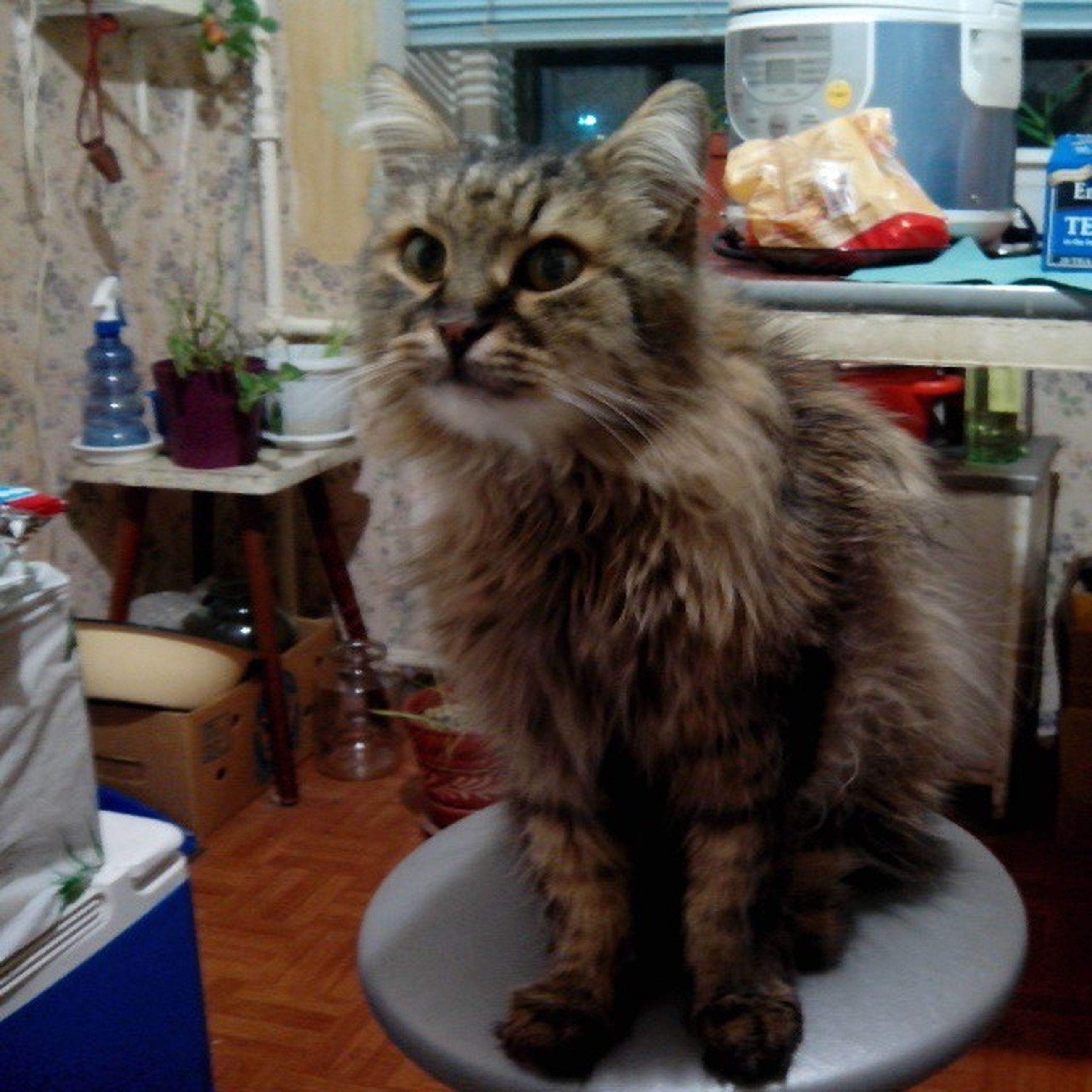 indoors, pets, domestic animals, animal themes, domestic cat, table, one animal, mammal, cat, home interior, feline, sitting, focus on foreground, portrait, close-up, whisker, home, food and drink, looking at camera, chair