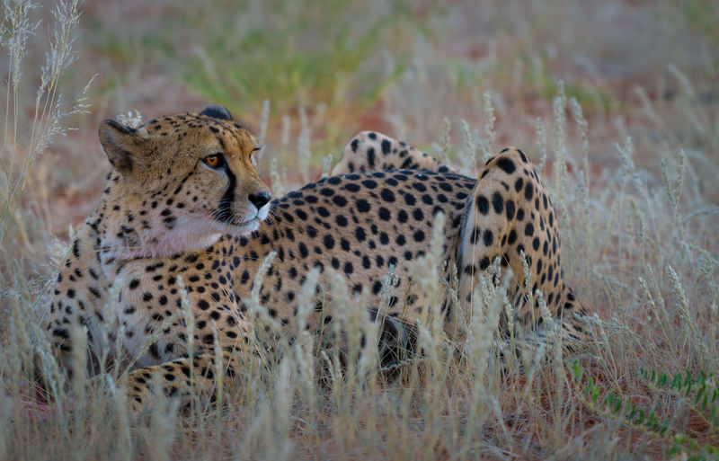 Cheetah sitting on field