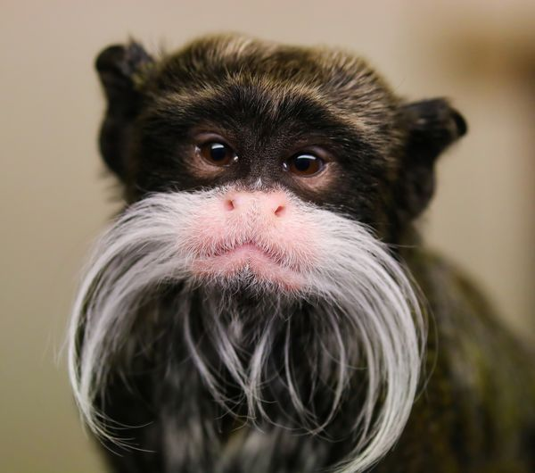 Cheeky Emperor Tamarin Monkey Animal Animal Themes Close-up Day Monkey No People One Animal Portrait Primate