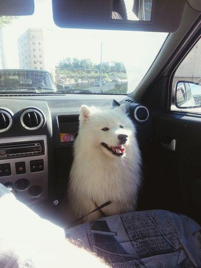 вмашине Photo Пермь Perm Dog❤ самоед Samoyed самоедская собака Dog собакаулыбака Ilovemydog