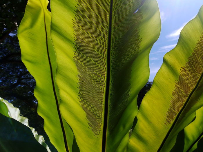 bird's nest fern with sunlight Bird's Nest Fern Sunlight Banana Leaf Beauty In Nature Close-up Day Fragility Freshness Green Color Growth Leaf Leaf Vein Leaves Light And Shadow Natural Pattern Nature No People Outdoors Plant Plant Part Sky Spore Sunlight Tranquility Vulnerability