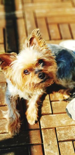 Happy Dog Lovemydog Happydog Dog In Sunlight Pets Dog Close-up Yorkshire Terrier Terrier