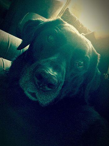 Dog Labrador Cool Dog