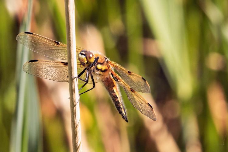 Dragonfly (4