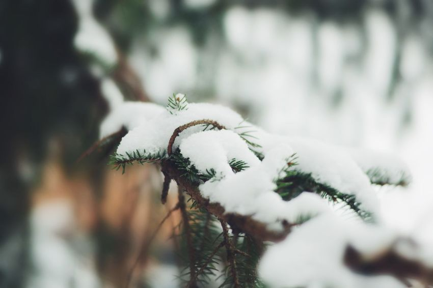 Nature Winter Close-up White Color Cold Temperature Snow Fragility Plant No People Beauty In Nature Outdoors Growth Day Flower Flower Head Freshness Tree Branch Leaves Photography Christmas EyeEm Best Shots EyeEm Nature Lover Photo Photooftheday