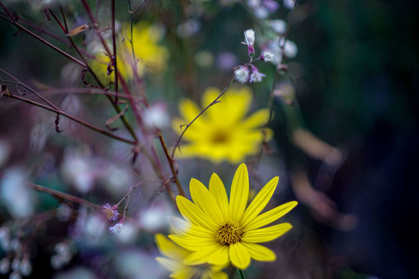 Flower Flowering Plant Plant Yellow Vulnerability  Freshness Fragility Beauty In Nature Flower Head Growth Inflorescence Petal Nature Close-up Day Land Selective Focus Focus On Foreground Pollen Outdoors No People