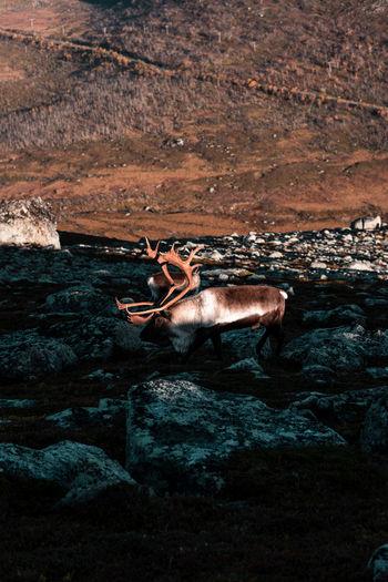 View of deer on rock