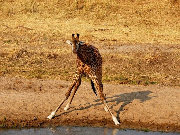 Tansania 2008 Tarangire Giraffe EyeEm Nature Lover EyeEmBestPics EyeEm Best Shots Landscape My Favorite Photo Bestshot Shotoftheday Africa EyeEm Masterclass Check This Out Bestoftheday EyeEm Gallery EyeEm The Best Shots Giraffes EyeEm Animal Lover
