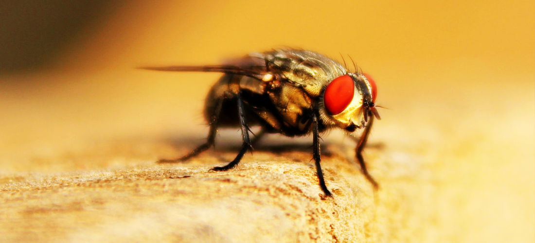 Makkhi Fly Housefly Seems A Beauty Insect Spider Close-up Animal Themes Jumping Spider Housefly Pest Fly Animal Leg Mosquito Ant Animal Antenna Spider Web Chachoengsao Arachnid Arthropod Mouse Animal Limb Rat Web