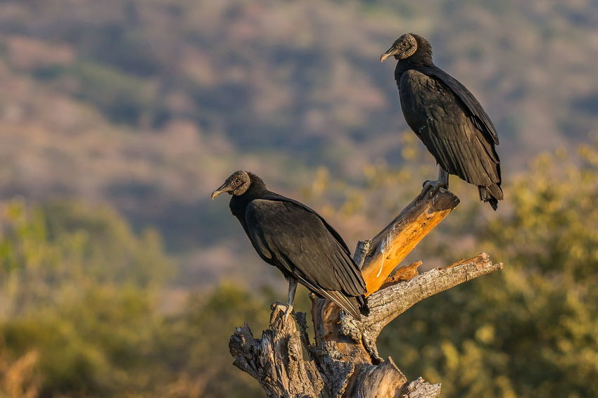 Coragyps Atratus Zopilote Zopilote Negro Animal Themes Animal Wildlife Animals In The Wild Beauty In Nature Bird Bird Of Prey Close-up Day Focus On Foreground Nature No People One Animal Outdoors Perching Tree