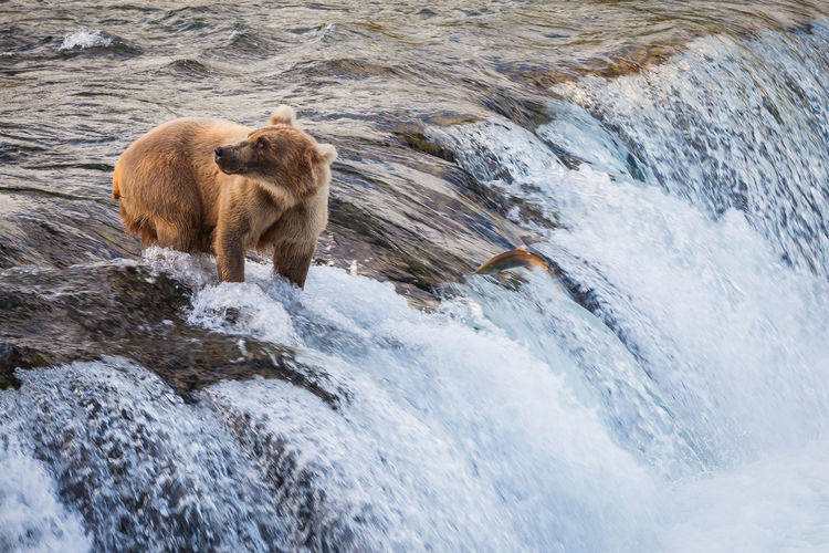 Missing Shot. An Alaskan brown bear missing its chance to catch a salmot at Brooks Falls, Katmai National Park, Alaska, USA. Alaska Alaskan Brown Bears Animal Themes Animal Wildlife Animals Hunting Animals In The Wild Bear Day Grizzly Bear Katmai National Park Mammal Nature No People One Animal Outdoors River Salmon The Great Outdoors - 2017 EyeEm Awards Water