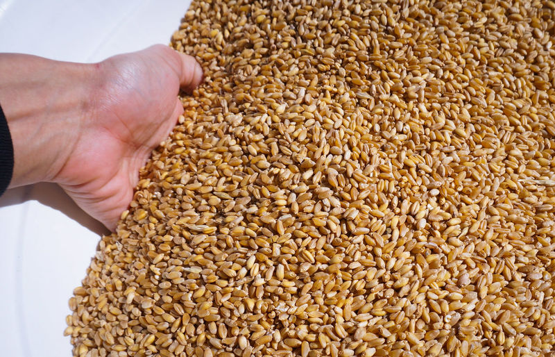 Close-up of human hand in wheat grains